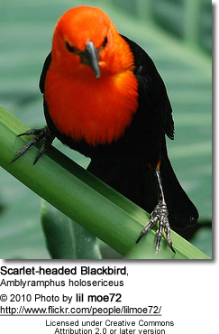 Scarlet-headed Blackbird, Amblyramphus holosericeus